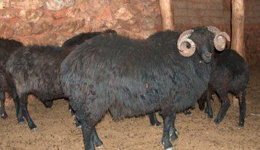 Karagül – Karagul Koyun Irkı