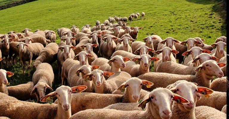Lacaune Koyunu Ve Irk Özellikleri