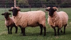 Norfolk Horn Koyun Irkı