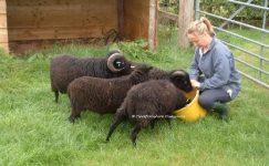 Süt Verme Döneminde Koyun Besleme