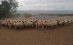 Koç Katımında Koyun Besleme