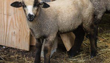 Romeldale Koyunu ve Irk Özellikleri