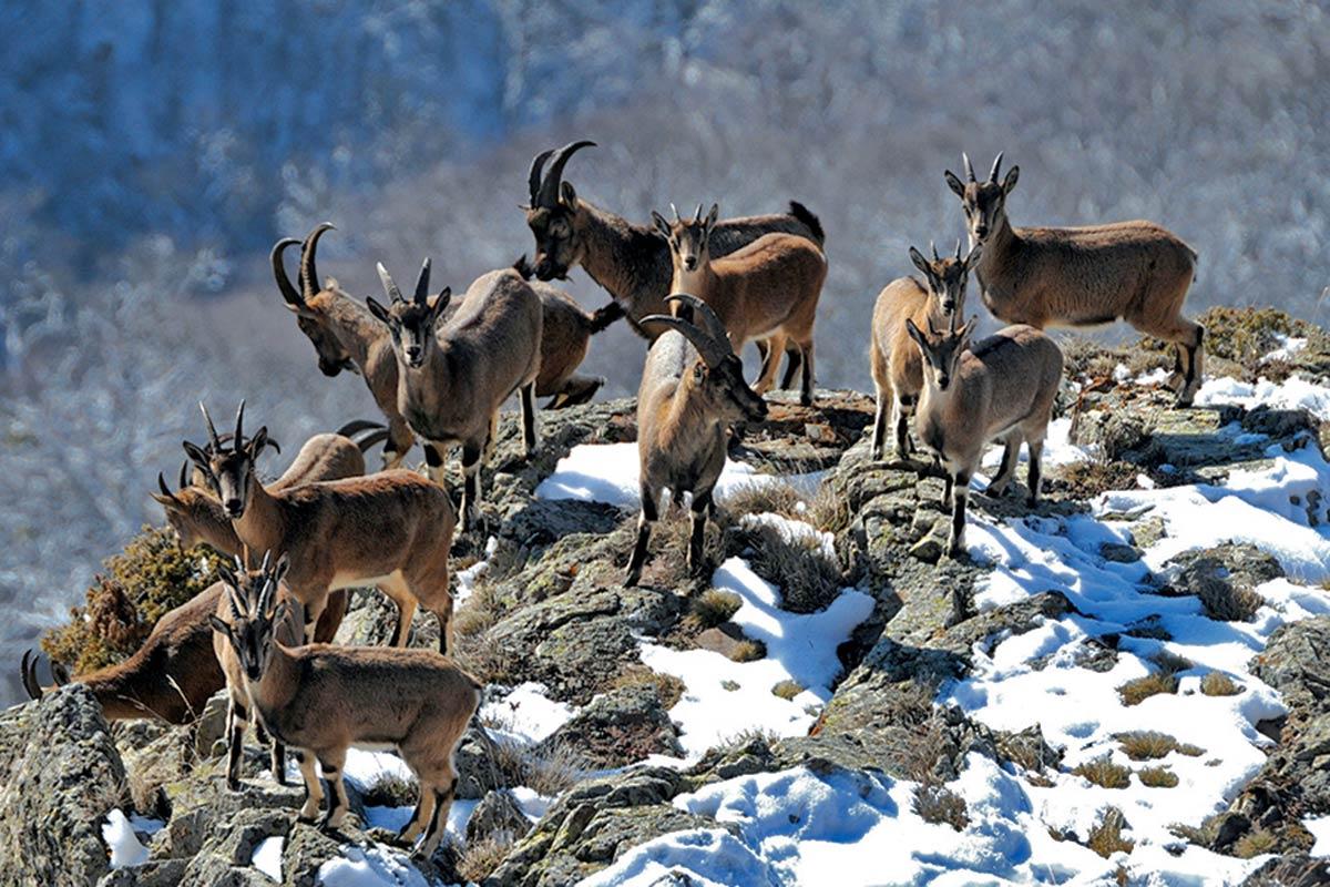 Bezoar keçi ırkı