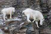 Alaska Dağ Keçisi