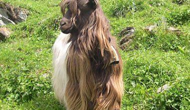 Bakır (Kupfer) Keçisi