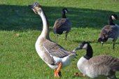 Damızlık Kazların Çiftleşme Süreçleri ve Kazların Kesimi