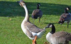 Damızlık Kazların Bakımı, Beslenmesi, Çiftleşme Süreçleri ve Kazların Kesimi