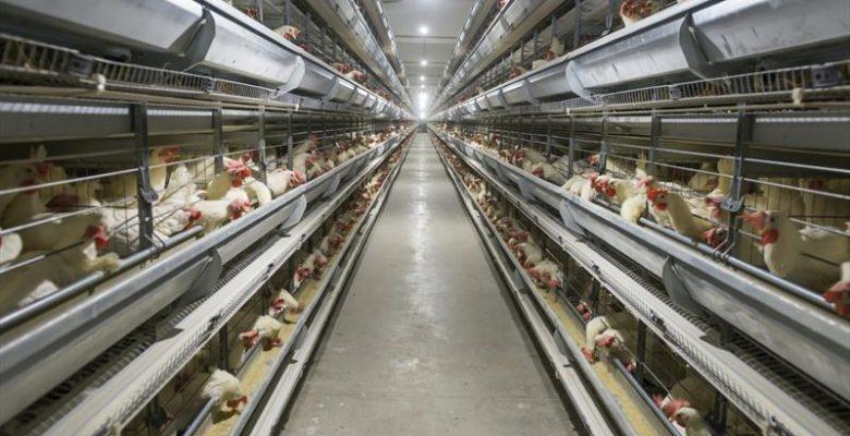 Yumurta Tavukçuluğu ve Yumurta Tavuğu Yetiştirme Teknikleri