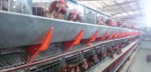 Yumurta Tavukçuluğunda Aydınlatma ve Su Kalitesi
