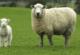 Koyunlarda Kızgınlık ve Döl Verimi