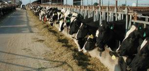 Sığırların Beslenmesinde Silaj Kullanımı