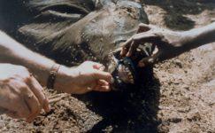 Sığır Vebası Hastalığı ve Mücadelesi