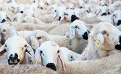 Koyunların Besin İhtiyaçları