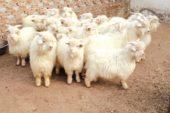 Kaşmir (Keşmir) Keçisi ve Özellikleri