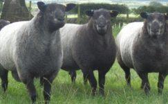 Mavi Texel (Texel Blue) Koyunu ve Özellikleri