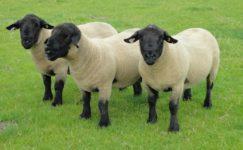 Suffolk Koyunu ve Özellikleri