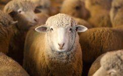 Targhee Koyunu Özellikleri ve Yetiştiriciliği