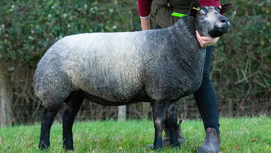 Texel Blue Sheep