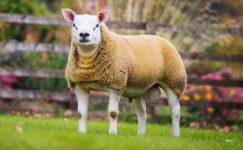 Texel (Teksel) Koyunu ve Özellikleri