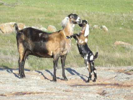 Nubian keçisi