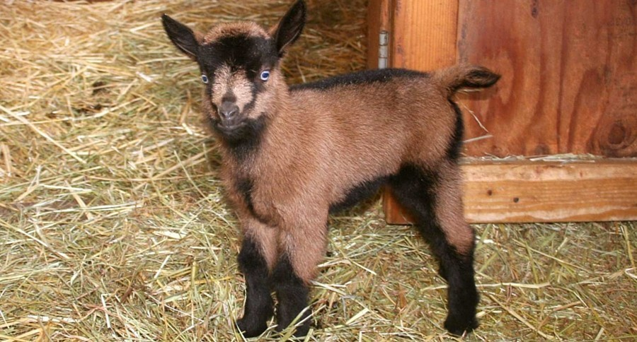 oberhasli-goats