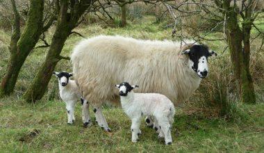 Rough Fell Koyunu ve Irk Özellikleri