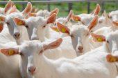 Saanen Keçisi Yetiştiriciliği ve Irk Özellikleri