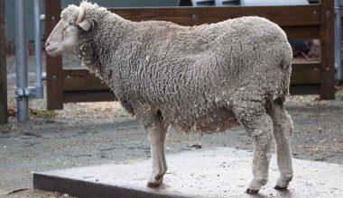 Santa Cruz Koyun Irkı ve Özellikleri