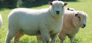 Ryeland Koyunu Yetiştiriciliği ve Irk Özellikleri