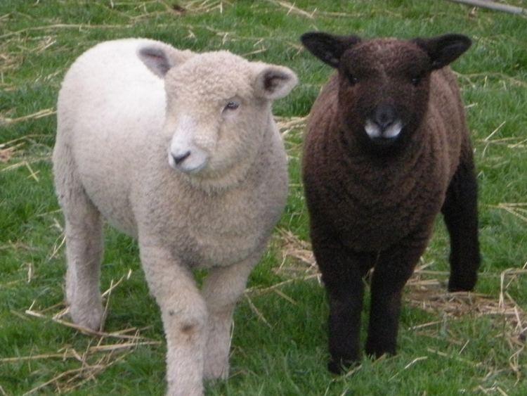 ryeland koyun ırkı