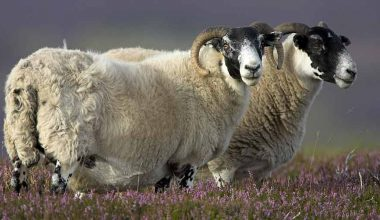 Scottish Blackface Koyunu ve Irk Özellikleri