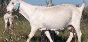 Savannah / Savanna Keçisi ve Irk Özellikleri