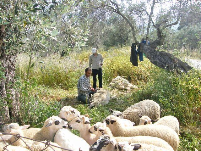 Skopelos sheep