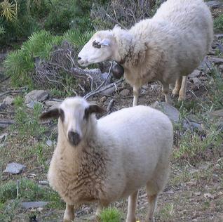 Skopelos sheeps