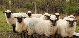 Shropshire Koyunu Ve Irk Özellikleri