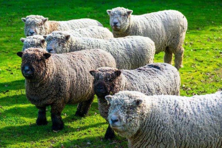 Soutdown koyun ırkı