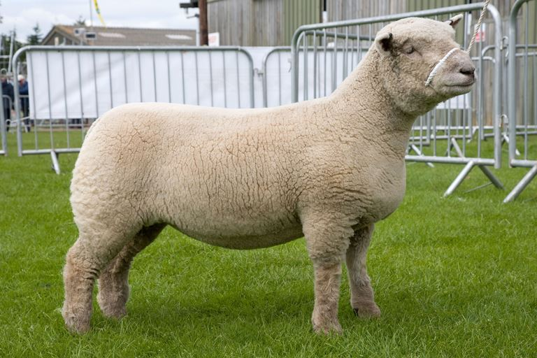Soutdown sheeps