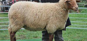 Coburg Fox / Tilki Koyunu ve Irk Özellikleri