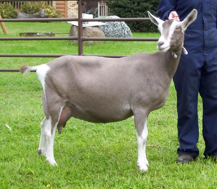 Toggenburg Keçi ırkı
