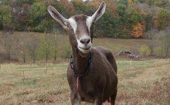 Toggenburg Keçisi Yetiştiriciliği Ve Irk Özellikleri