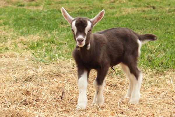 Toggenburger goats