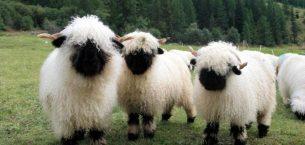 Valais Siyah Burunlu Koyunu Ve Irk Özellikleri
